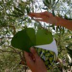 Récolte Olives - Bassin Méditerranéen
