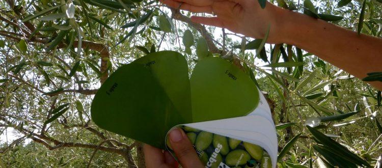 Récolte Olives Traditionnelle - Lieux Insolites Aude
